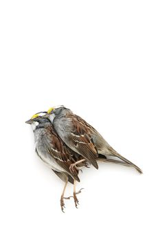 white-throated sparrows | STILL (mary jo hoffman)
