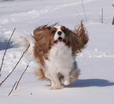 Cavalier King Charles Spaniel in snow.   http://www.annabelchaffer.com/categories/Dog-Lovers-Gifts/