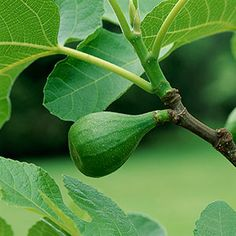 Fig trees are one of the easiest fruit trees to grow. Here's how to care for them organically. | From Organic Gardening