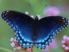 """Borboletas e Poemas: Roseana Murray-""""Quero asas de borboleta azul para que eu encontre o caminho do vento o caminho da noite a janela do tempo o caminho de mim.""""  Roseana Murray"""