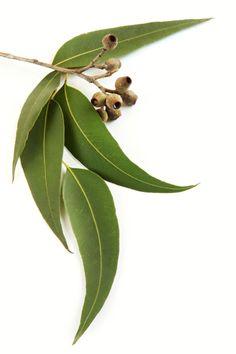 Les eucalyptus forment un groupe d'arbres très riche. L'eucalyptus radiata et globulus en sont deux espèces dont les huiles essentielles ont des effets très complémentaires. La première agit sur les voies respiratoires hautes (nez, sinus) et la seconde sur les voies respiratoires basses (gorges, bronches).   L'eucalyptus citronné, quant à lui est reconnu pour soulager les douleurs articulaires et ses composés olfactifs sont remarquables pour éloigner les insectes indésirables.