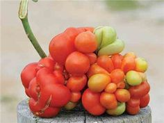 Reisetomate Tomato: I love this funky looking sour tomato. The tomatoes grow very large and are very sour like a lemon and finishes with a hint of tomato.