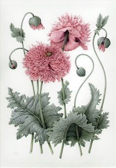 Lovely botanical : illustration by Christine Stephenson Shaggy Pink Poppies Old Illustrations, Vintage Illustration, Plant Illustration, Vintage Botanical Prints, Botanical Drawings, Botanical Flowers, Botanical Art, Diy Flowers, Flowers Nature