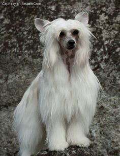 Chinese Crested pictures...