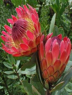 Most current No Cost Exotic Flowers gardens Concepts Regional roses in addition… - tropical garden ideas Protea Art, Flor Protea, Protea Flower, Strange Flowers, Unusual Flowers, Rare Flowers, Amazing Flowers, Beautiful Flowers, Tropical Flowers