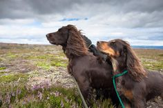 Dogs on the moor