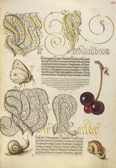 Joris Hoefnagel - Butterfly, Sweet Cherry, and Land Snails, Mira calligraphiae monumenta, fols. 1-129 written 1561 - 1562; illumination added about 1591 - 1596