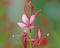 Native Plant Society of Texas. This is a great site for all Texas gardeners as well as for those interested in our native plants. |
