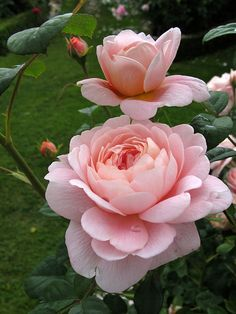Queen of Sweden Pretty little peachy pink rose. Supposed to be a good choice for cutting. I liked the light on the flower that's just openi...