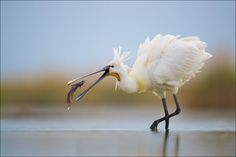 Spoonbill by Georg Scharf
