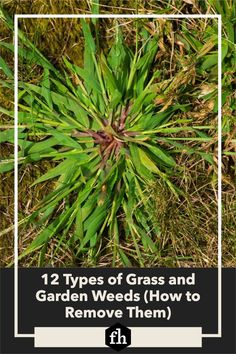 12 Types of Grass and Garden Weeds (How to Remove Them) Garden Weeds, Garden Plants, Weed Science, Weed Types, Types Of Grass, Lawn Fertilizer, Weed Seeds, Weed Killer, Replant