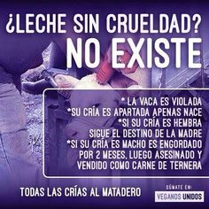 #leche #lacteos #crueldad #explotacion #vacas #especismo #violacion #matadero #veganismo