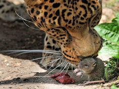 The little rat in the picture above wandered into the leopard's cage and tried to take off with the mama leopard's rare meat and she let him.