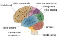 Cerebro humano - Wikipedia, la enciclopedia libre