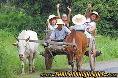 Enjoy Ox-Cart riding through the rice field to the Hut