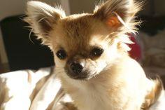 Chihuahua Armi