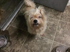 Cricket Is An Adoptable Yorkshire Terrier Searching For A Forever