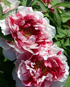 Tips for growning these amazing perennials - Peonies. @MS_Living