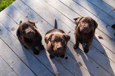brown labrador puppy | Tumblr