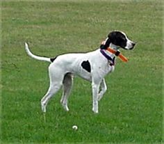 English Pointer Dogs Historical | English Pointer, English Pointers, Breed