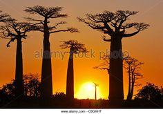 Avenue de Baobabs at sunset, Madagascar - Stock Image