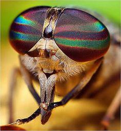 Taon femelle (Tabanus Horse Fly)