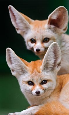 Two cute fennecs! by Tambako the Jaguar, via Flickr