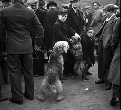 An Airedale and a greyhound strain towards each other at Club Row market in London's East End, a street famed for its dog sellers. c. 1946