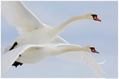 Oh how I LOVE this! Beautiful! mute swans/by remo savisaar
