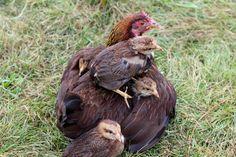 Naturnahe Hühnerhaltung