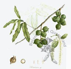 Dorothee Sampayo: Macadamia - Macadamia sp. | BASQ