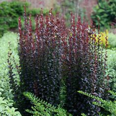 An upright shrub with purple leaves