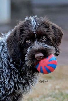 Fancy Dog Toys Wirehaired Pointing Griffon Pup - Ball anyone?Fancy Dog Toys Wirehaired Pointing Griffon Pup - Ball anyone? Griffon Dog, Wirehaired Pointing Griffon, Dog Grooming Shop, Diy Dog Collar, Training Your Dog, Training Collar, Beautiful Dogs, Dog Toys, Dog Pictures