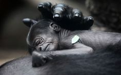 A baby gorilla, born on Tuesday, sleeps on its mother Rebecca at the zoo in Frankfurt, Germany