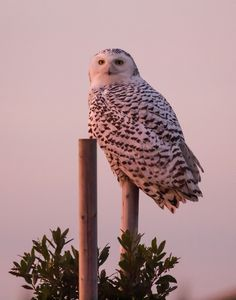 Snowy owl by George Bowron on 500px