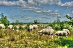 #sheeps #summer #sweden #hdr