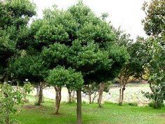 モチノキ:本州の東北南部より南~沖縄、中国に分布する常緑性樹木。6〜10m。