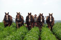 5 horse hitch, an integral part of #Amish farming. http://www.amishgazebos.com/amish-farming/