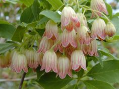 i have this tree/shrub in my garden - lovely spring flowers but they stink! Exotic Flowers, Beautiful Flowers, Close Up Photography, Foliage Plants, Pink Tulips, Pretty Photos, Wild Birds, Dream Garden, Potpourri