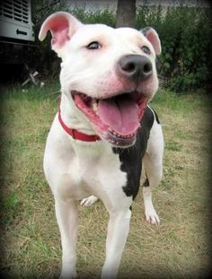 Peaches (Super Sweet Lady, Good with Dogs) is an adoptable American Bulldog Dog in Jersey City, NJ Woof! Hello! My name is Peaches, and I am a two year old American Bulldog mix. I'm a gorgeous l ... ...Read more about me on @petfinder.com