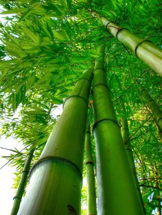 Bamboo is a popular symbol of longevity, resilience, flexibility and health in feng shui. Go Green, Green Colors, Feng Shui, Natural World, Shades Of Green, Beautiful World, Wonders Of The World, Mother Nature, Scenery