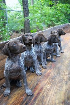 All the things we like about the Curious German Shorthaired Pointer Puppies Gsp Puppies, Pointer Puppies, Pointer Dog, Cute Puppies, Cute Dogs, German Pointer Puppy, Best Dogs For Families, Family Dogs, Canis Lupus