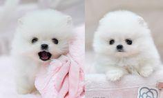 A white pomeranian puppy!! <3 Omfg sho cutee, gahhh x3