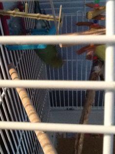 Baby Budgies, Parrot, Bird, Animals, Animales, Animaux, Birds, Parrots, Animal