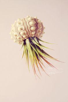 Voyager Jellyfish Air Plant // Octopus Sputnik Sea Urchin Wedding Favor Decor Gift DIY shell hanging art