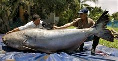 646 lbs. largest freshwater fish known. Mekong River