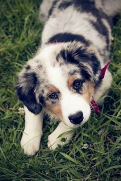Australian shepherd puppy. This makes me want another one! :)