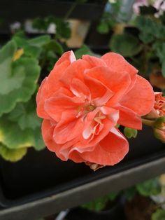 Elnaryds Bente Petunias, Houseplants, Gardening, Rose, Spring, Flowers, Geraniums, Pink, Indoor House Plants