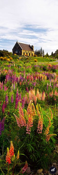 From November to December each year the shore of Lake Tekapo in South Island, New Zealand comes alive with the color of lupines.