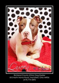 Meet Queen - Urgent, a Petfinder adoptable Pit Bull Terrier Dog   Mansfield, OH   Hello, my name is Queen and I arrived at the shelter as a stray on 11-10-14.  I am a very friendly...
